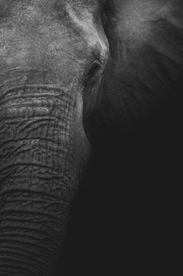 A mother elephant with all the elegance and power she needs to rule the lands.